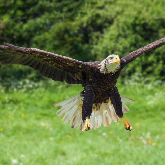 """Bald eagle coming in to land"" stock image"