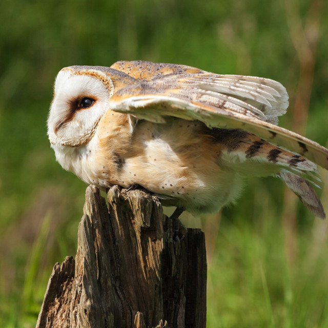 """Barn owl in an unusual pose"" stock image"
