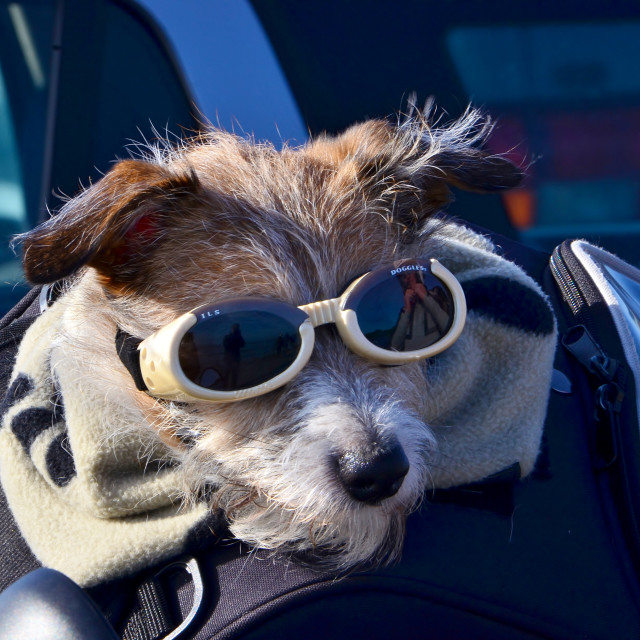 """""""Doggles"""" stock image"""