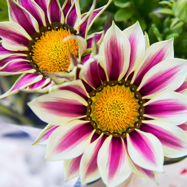 """White and purple gazania flowers"" stock image"