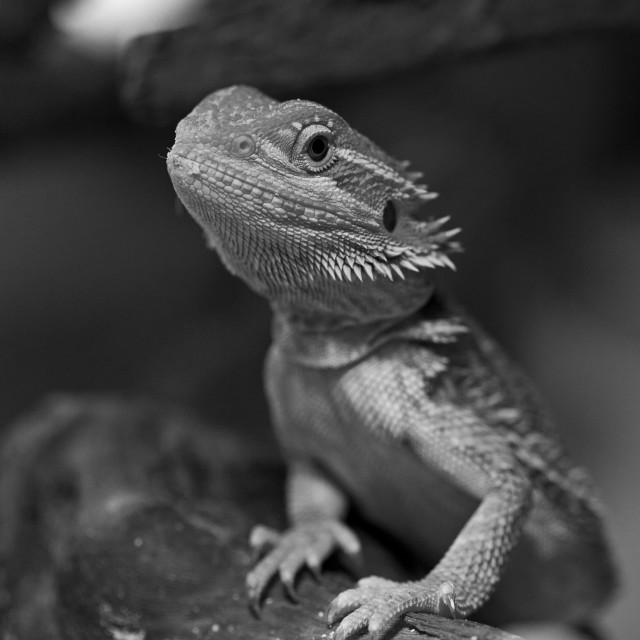 """Bearded Dragon Mono"" stock image"