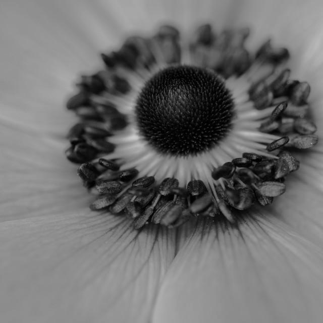 """Mono Anemone"" stock image"