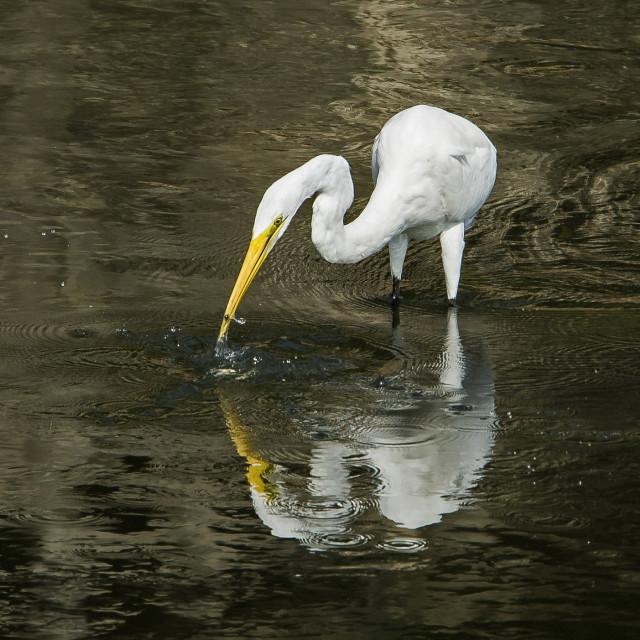 """Great Egret (Ardea alba) (V)"" stock image"