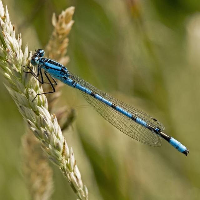 """Common Blue Damselfly (Enullagma cyathigerum) (IV)"" stock image"