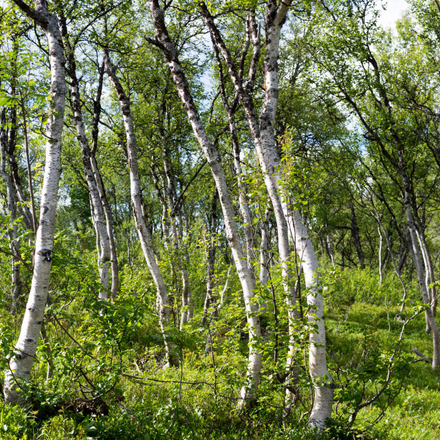 """Mountain birch forest"" stock image"