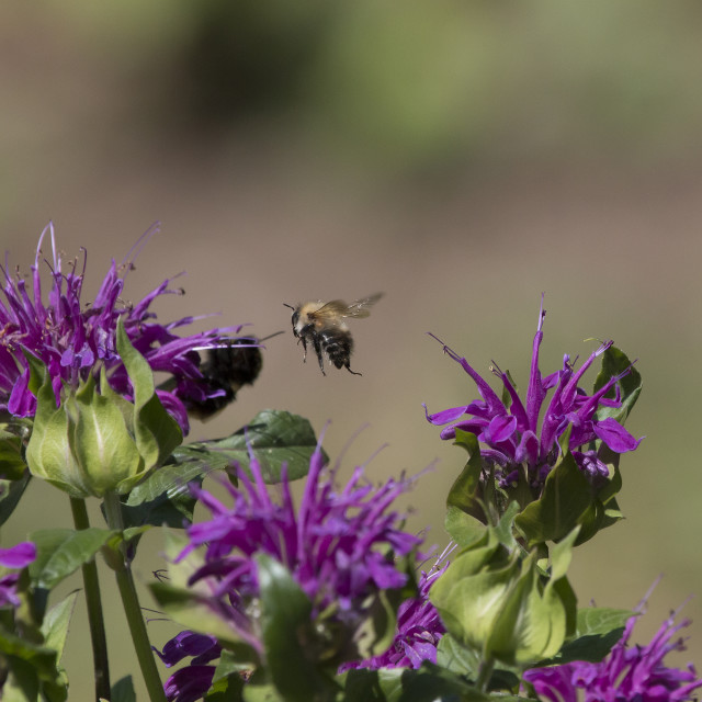 """Bee in flight."" stock image"