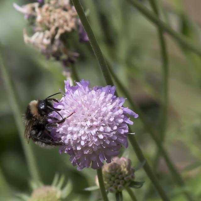 """Bee on Flower 4."" stock image"