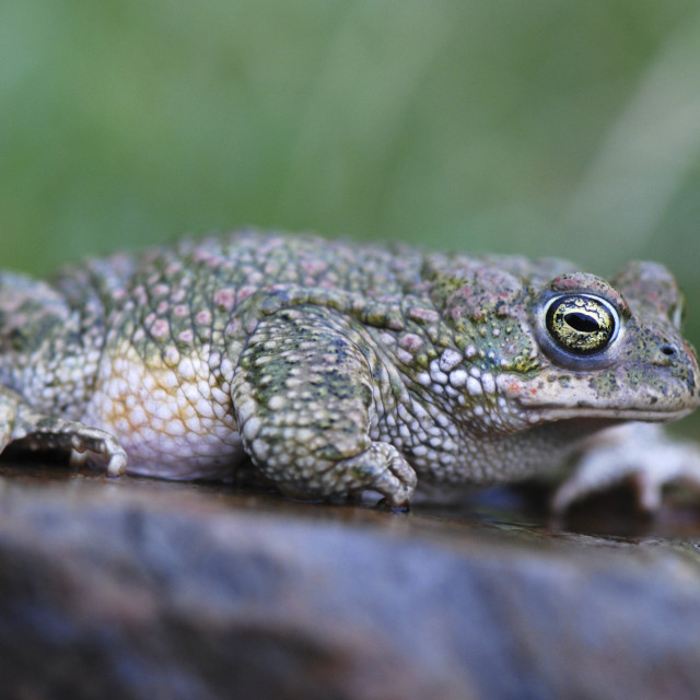"""Common toad"" stock image"