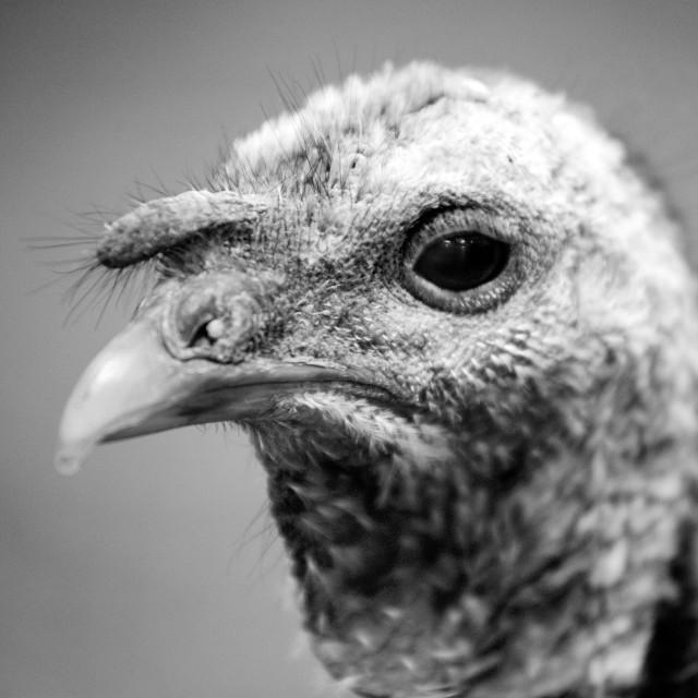 """Turkey eye"" stock image"