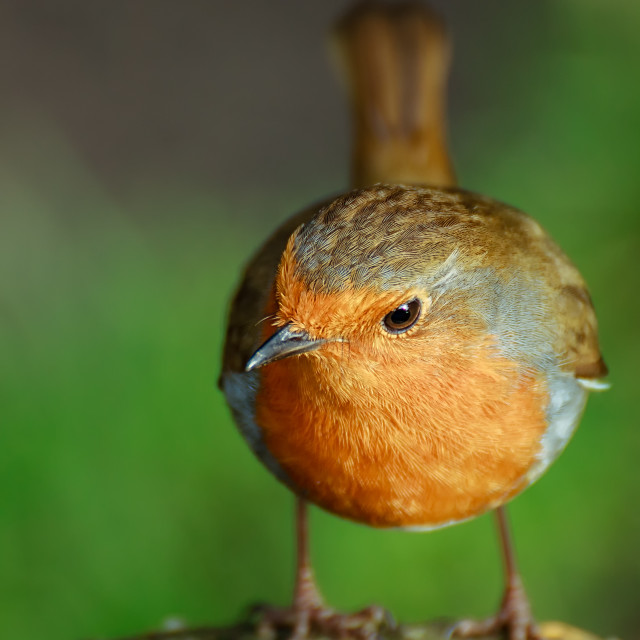 """A friendly Robin"" stock image"