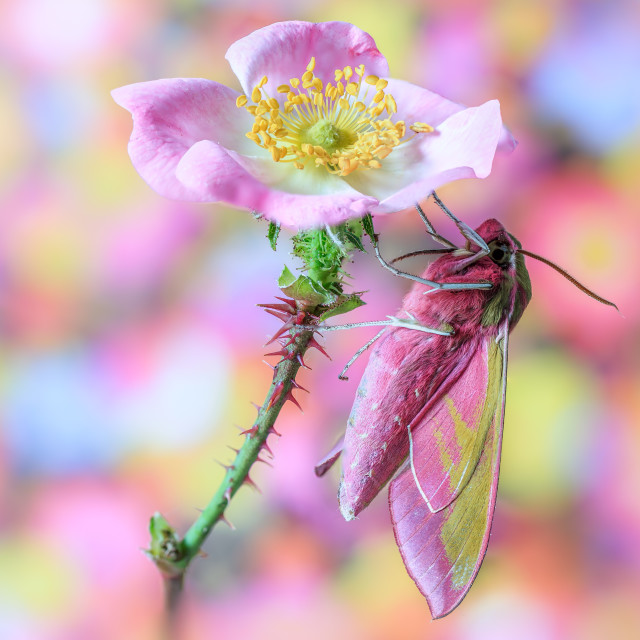 """moth & the wild rose."" stock image"