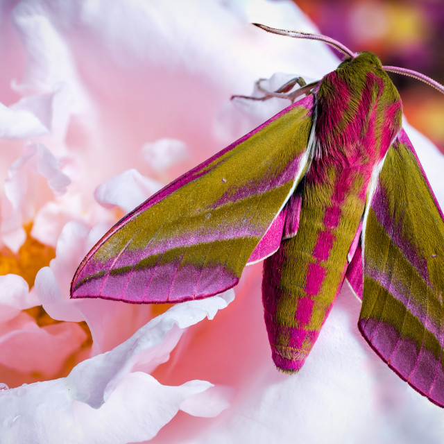 """Elephant hawk moth & the rose"" stock image"