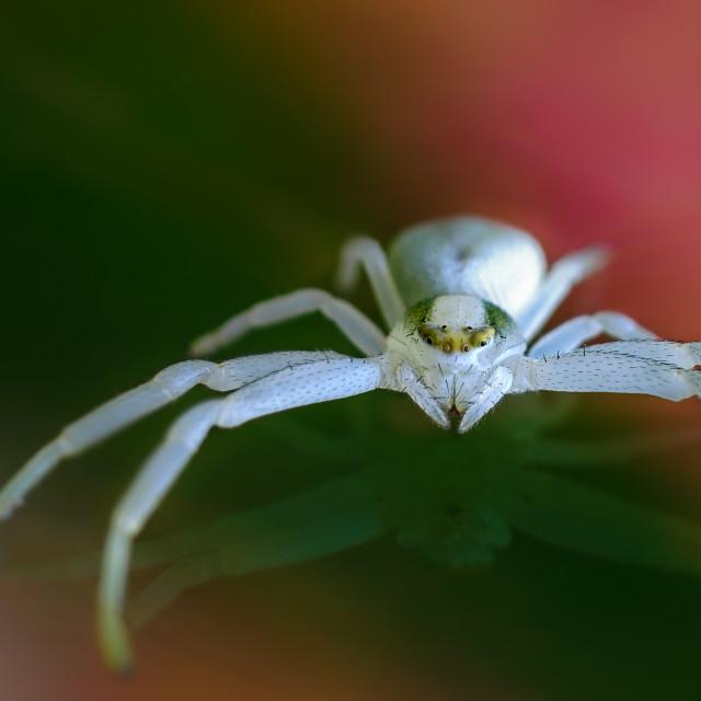 """crab spider"" stock image"