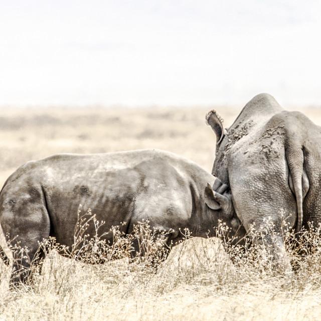 """""""rhinos"""" stock image"""