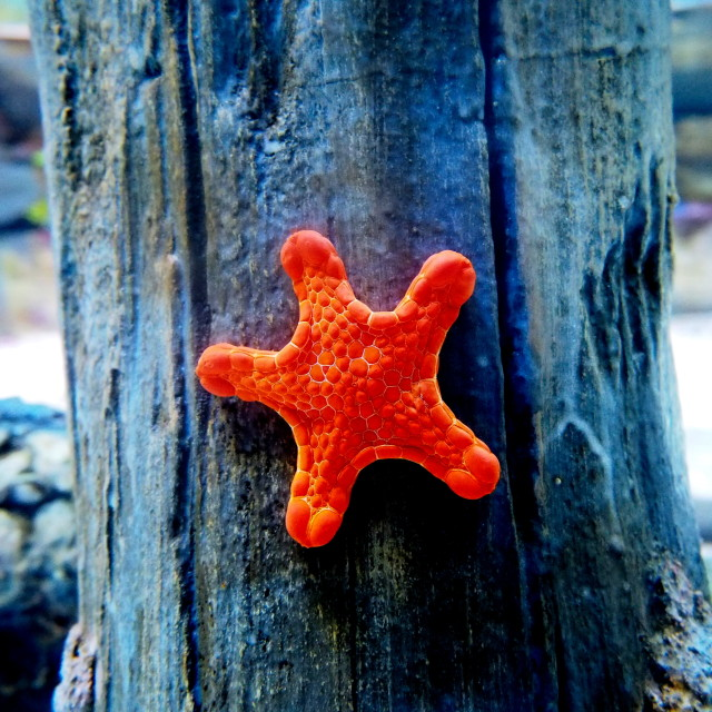 """""""red star fish"""" stock image"""