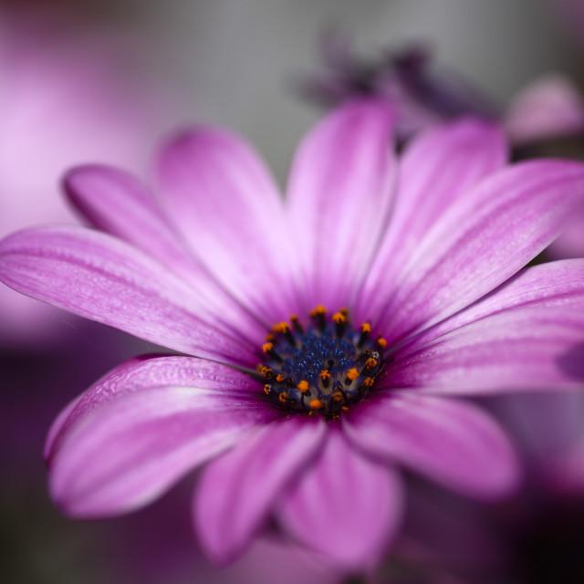 """""""Cape daisy"""" stock image"""