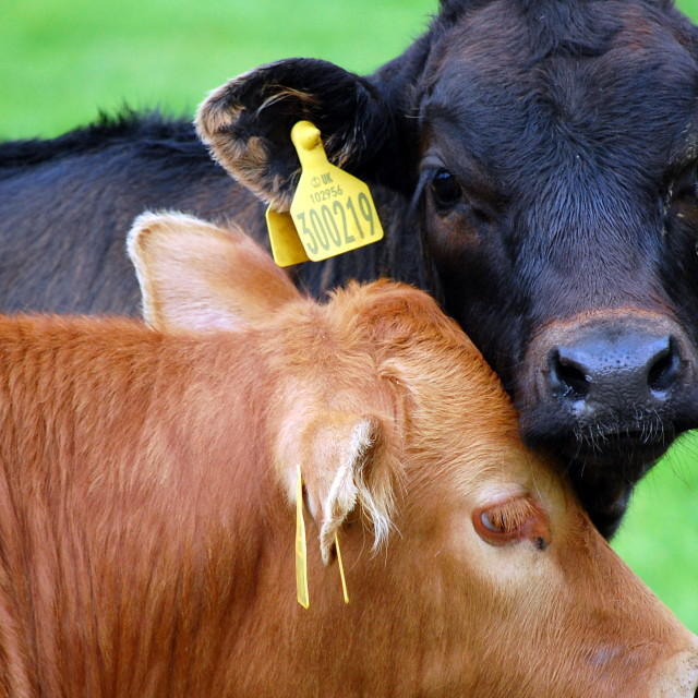 """Two cows"" stock image"
