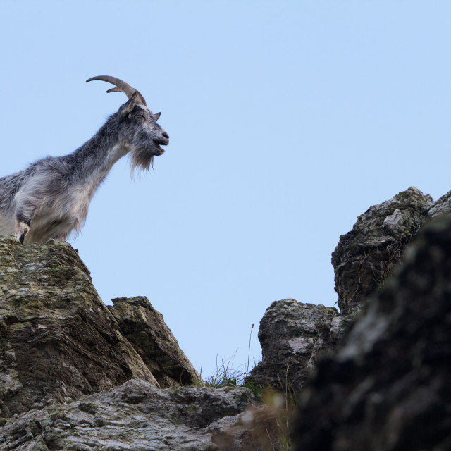"""Wild Goat in the Valley of the rocks, Lyton, Exmoor, Devon"" stock image"