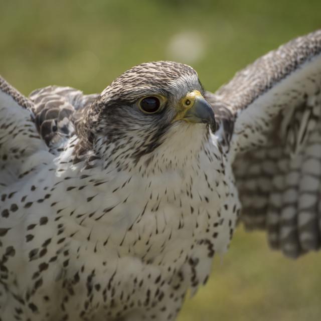 """""""Peregrine Falcon"""" stock image"""