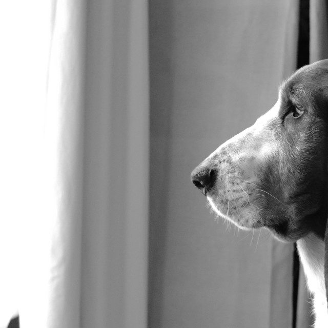 """""""Basset hound waiting"""" stock image"""