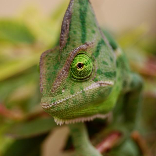"""Yemens Chameleon"" stock image"