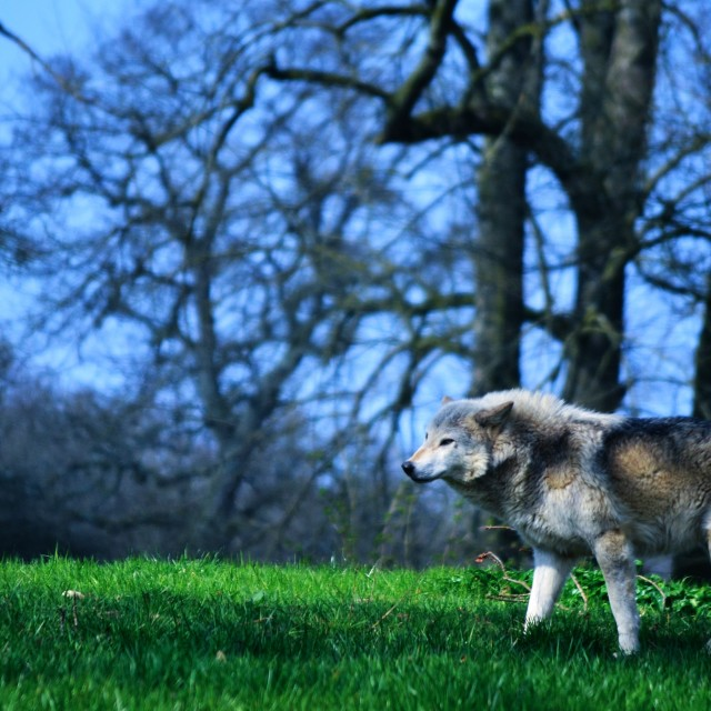 """""""Timber Wolf"""" stock image"""