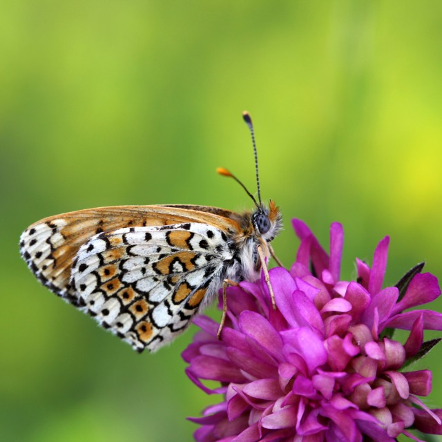 """Glanville Fritillary butterfly"" stock image"