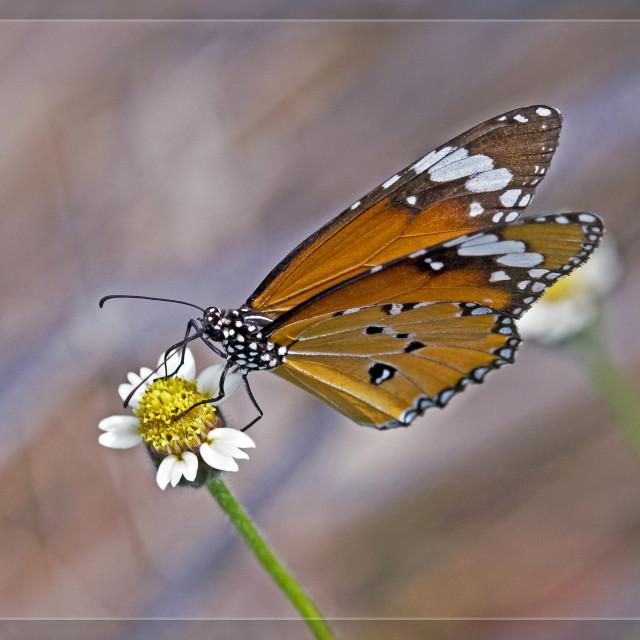 """Butterfly Plain Tiger (Danaus chrysippus) (I)"" stock image"