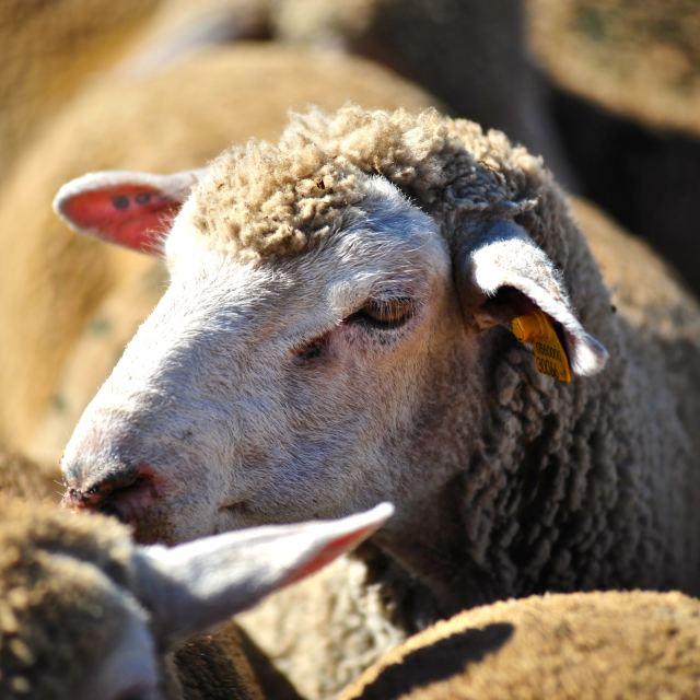 """""""La pecorella nel gregge"""" stock image"""