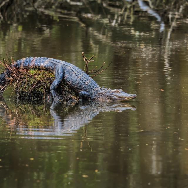 """Alligator in swamp"" stock image"