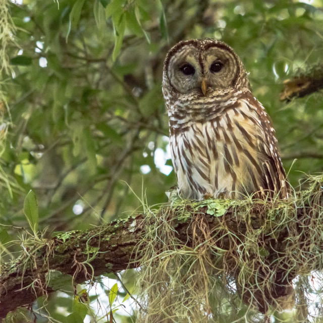 """""""Barred Owl in Tree"""" stock image"""