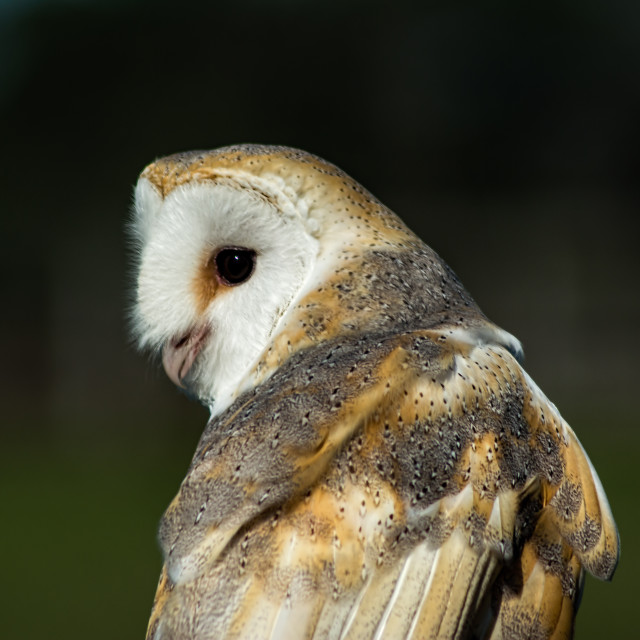 """""""Owl looking back"""" stock image"""