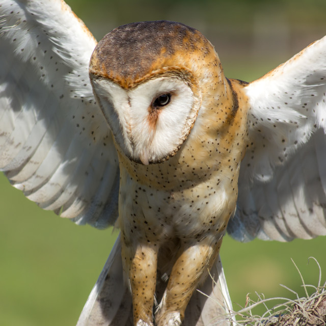"""Owl in flight"" stock image"