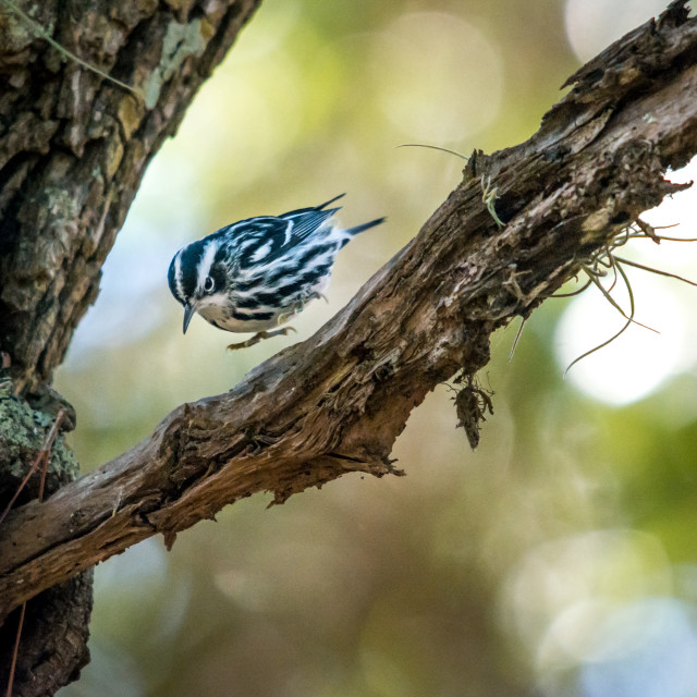 """""""Black and White warbler"""" stock image"""
