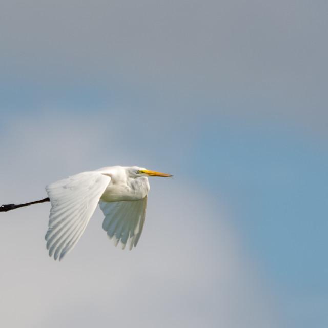 """Egret in Flight"" stock image"