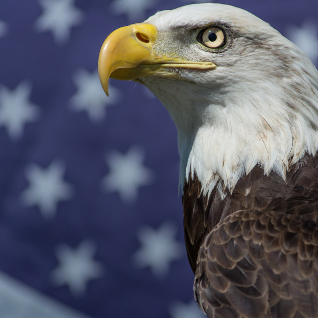 """""""Eagle and American Flag"""" stock image"""