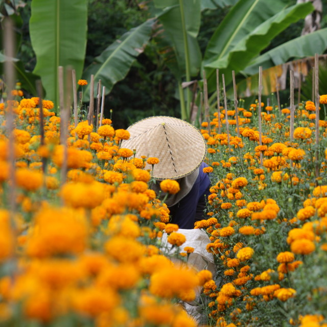 """Marigold Farming, Bali"" stock image"