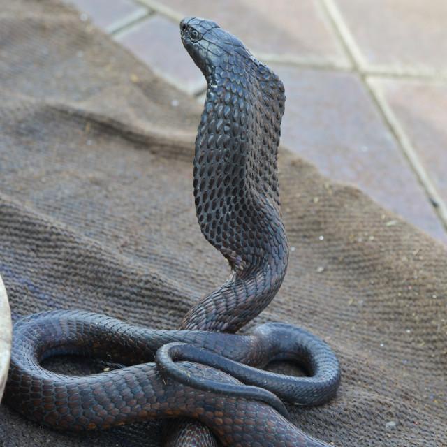 """""""Snake charmer with Cobra-Morocco"""" stock image"""
