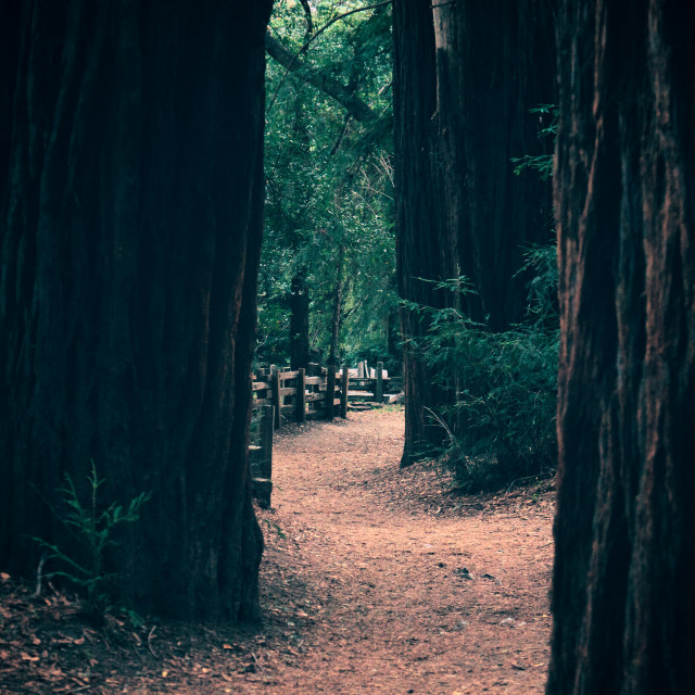 """Path through redwoods"" stock image"