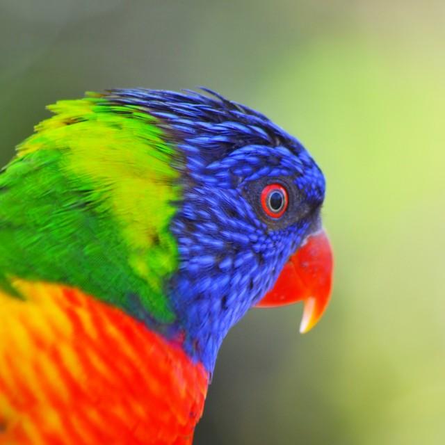 """""""Rainbow Lorikeet"""" stock image"""