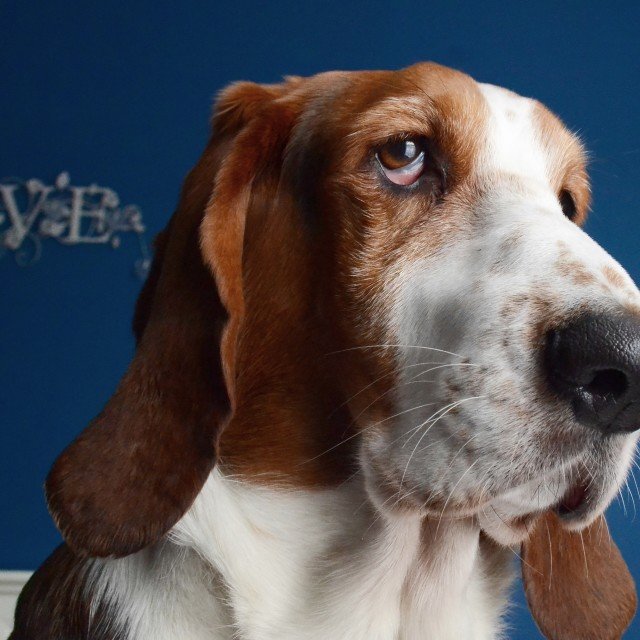 """""""A Basset Called George"""" stock image"""