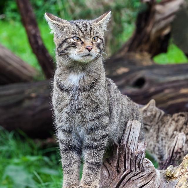 """""""Scottish wildcat kitten on alert"""" stock image"""
