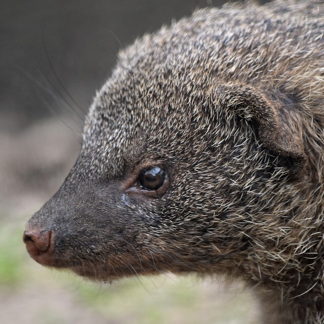 """Banded mongoose"" stock image"