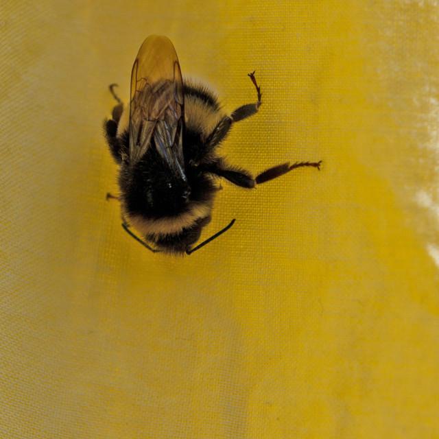 """""""Bee on yellow dress"""" stock image"""