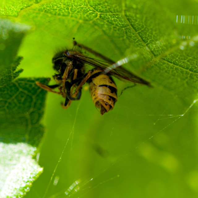 """Captured wasp"" stock image"