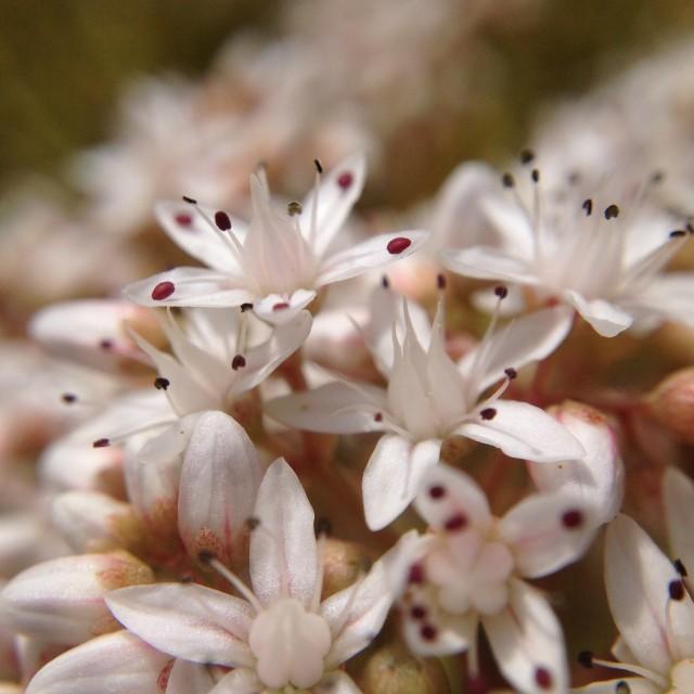 """Stone crop flowers"" stock image"