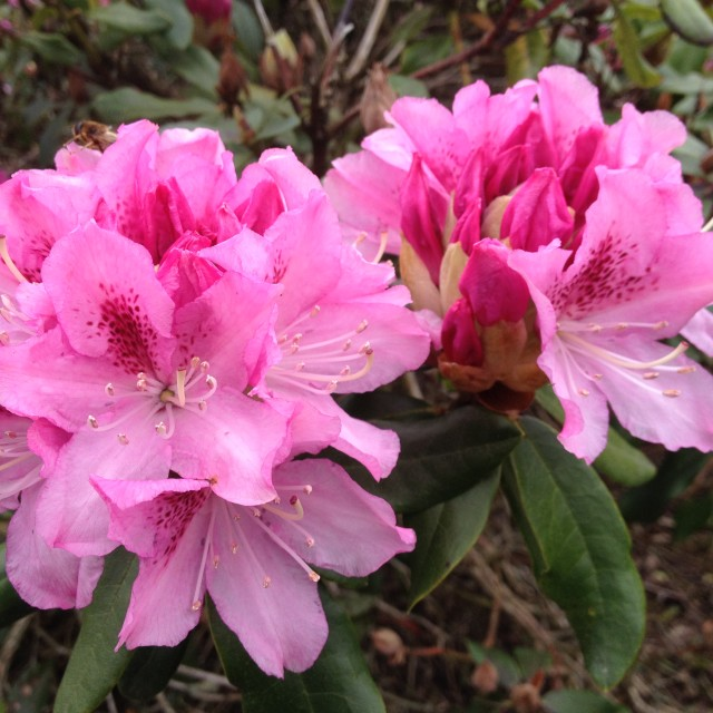 """""""Rhododendron flowers"""" stock image"""