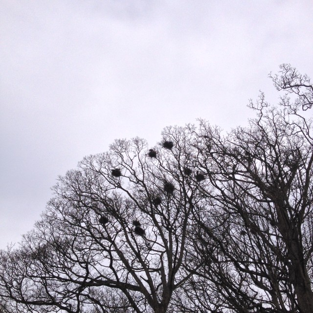 """""""Rooks nesting in a tree"""" stock image"""