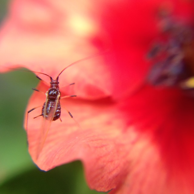 """Aphid on a flower"" stock image"