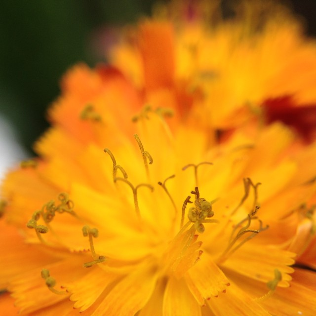 """Orange hawkweed flower"" stock image"